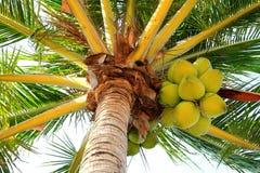 Cocos en una palmera Imagenes de archivo