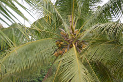Cocos frescos da árvore Fotos de Stock Royalty Free