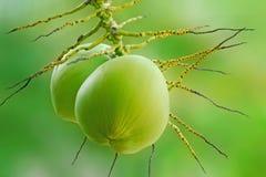 Cocos frescos en aislante del árbol en fondo verde Fotos de archivo libres de regalías
