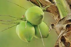 Cocos frescos en aislante del árbol en fondo verde Imágenes de archivo libres de regalías
