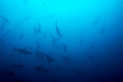 Cocos island hammerhead sharks Stock Images