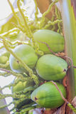 Cocos jovenes Foto de archivo libre de regalías