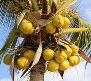Cocos maduros en la palma Foto de archivo libre de regalías