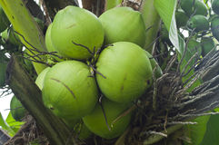 Cocos novos. Imagens de Stock