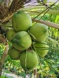Cocos novos Imagens de Stock Royalty Free