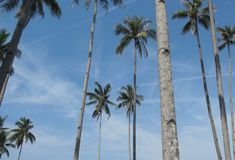 Cocos nucifera. Coconut palm or cocos nucifera with sky background. Rich or poor everyone can use them Stock Image