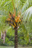 Cocos nucifera' coconut tree dwarf. Dwarf coconut tree with lots of coconuts Stock Photography