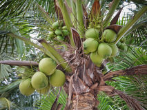 Cocos nucifera Linn or coconut with close up view. The Cocos nucifera Linn or coconut with close up view Royalty Free Stock Images