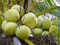 Cocos nucifera Linn or coconut with close up view. Cocos nucifera Linn or coconut in Thailand with close up view Royalty Free Stock Image