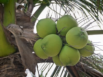 Cocos nucifera Linn o noce di cocco con la fine sulla vista Immagini Stock