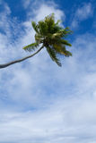 Cocos palm. On blue sky. Nature background Stock Photos