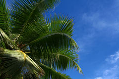 Cocos palm. On blue sky. Nature background Royalty Free Stock Photo