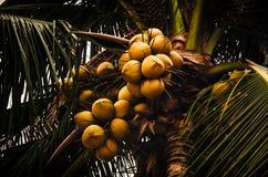 Cocos que crecen en la palma Fotografía de archivo libre de regalías