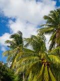 Cocos que crecen en una palmera verde contra un cielo azul foto de archivo