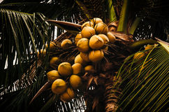 Cocos que crescem na palma Fotografia de Stock Royalty Free