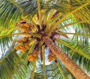 Cocos sur l'arbre de noix de coco, fond de nature de vintage Photos stock