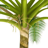 Cocos Tree Stock Photography