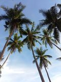 Cocos under the blue sky. Coconut tress trees cocos under blue sky royalty free stock photos