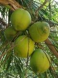 Cocos verdes imagens de stock royalty free