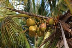 Cocos verdes Imagen de archivo