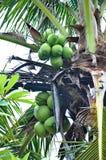 Cocos verdes Fotografía de archivo libre de regalías