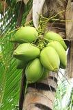 Cocos verdes Fotografia de Stock Royalty Free