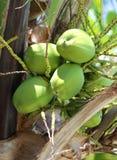 Cocos verdes en la palma Fotografía de archivo libre de regalías