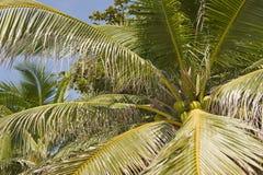 Cocos en árbol imagenes de archivo