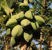 Cocos verdes en un árbol Imagenes de archivo