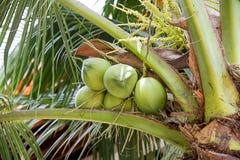 Cocos verdes en una palmera Foto de archivo