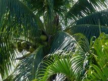 Cocos verdes entre las frondas de la palma Fotografía de archivo