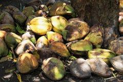 Cocos verdes frescos Foto de archivo