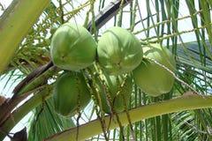 Cocos verdes frescos en una rama de palmera Fotografía de archivo