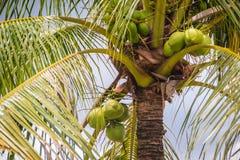 Cocos verdes jovenes orgánicos en el árbol de coco debajo del cielo azul Imagen de archivo libre de regalías