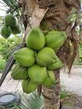 Cocos verdes luxúrias completos orgânicos na árvore de coco em uma exploração agrícola imagem de stock royalty free