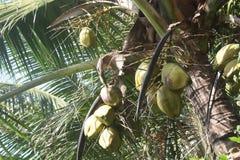 Cocos verdes que cuelgan en árbol Imagen de archivo libre de regalías