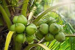 Cocos verdes que cuelgan en árbol Fotos de archivo