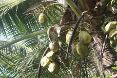 Cocos verdes que penduram na árvore Imagem de Stock Royalty Free