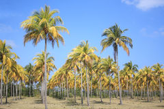 Cocoteros (Coconut Palm Trees). Plantation of coconut palm trees in Cuba stock photos