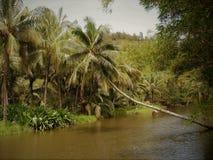 Cocotier fortement chargé accrochant au-dessus d'un étang en Hawaï image libre de droits