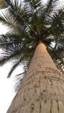 Cocoträd Arkivbild