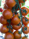 Coctail tomatos Stock Photos