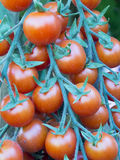 Coctail tomatos Royalty Free Stock Photos