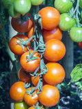 Coctail tomatos Royalty Free Stock Images