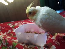 Coctailfågel som äter mat royaltyfria foton