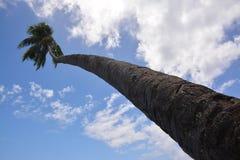 Cocunut tree Stock Image