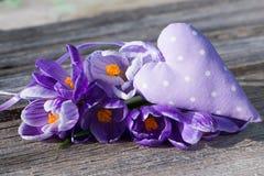 Cocuses roxos com coração Fotografia de Stock Royalty Free