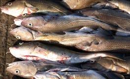 Cod. Fresh light caught cod fish on jetty Stock Photo