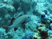 Cod. At fish cleaning station, with cleaner fish Royalty Free Stock Photography