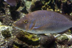 Cod. Spotted Sweetlip (Pomadasys argenteus) swimming over coral reef Royalty Free Stock Images